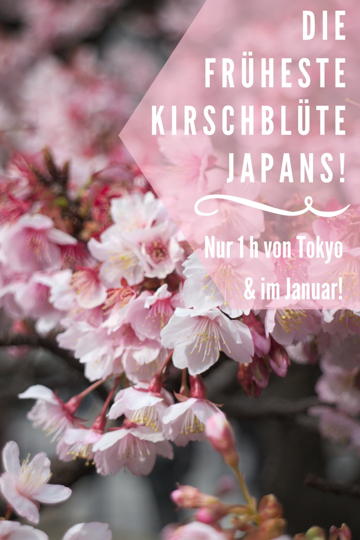 Hanami in Atami: Die erste Kirsch- und Pflaumenblüten des Jahres in Japan