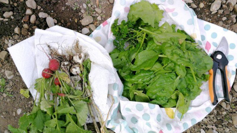 Krautgarten Ernte mit Spinat, Radieschen und Knoblauch