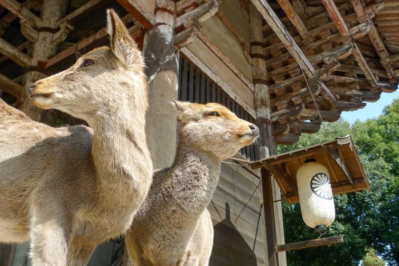Nara Hirsche Problem