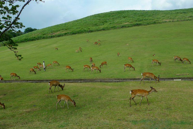 Die Hirsche in Nara weiden
