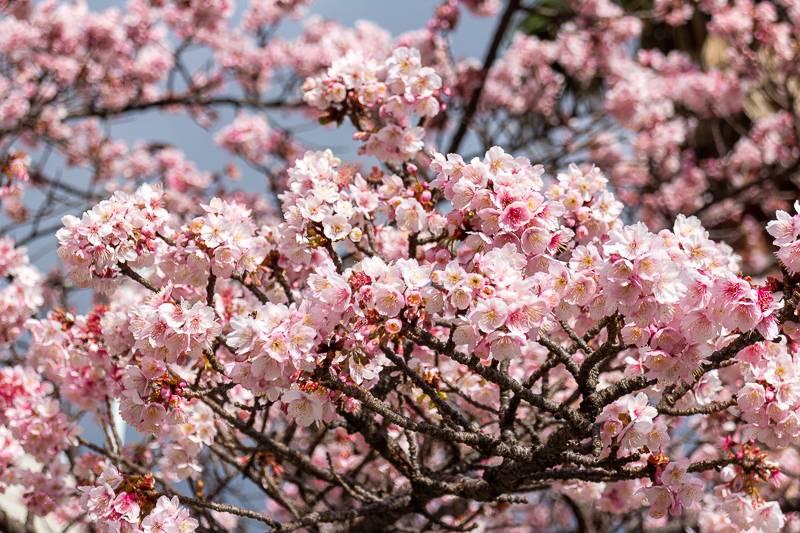 Atami Kirschblüte Nahaufnahme