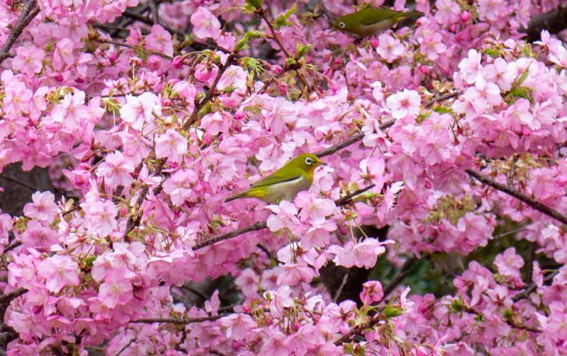 Japanbrillenvogel Kawazu