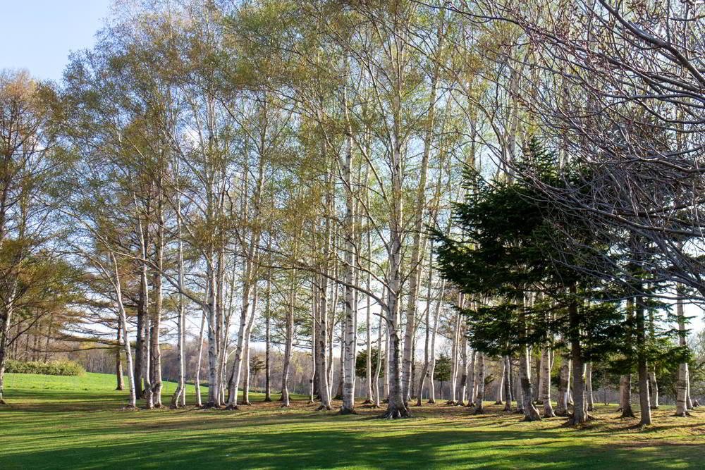 Ein Birkenwald auf dem Hitsujigaoka - Birken sind typisch für Hokkaido und kommen auch um Sapporo oft vor.