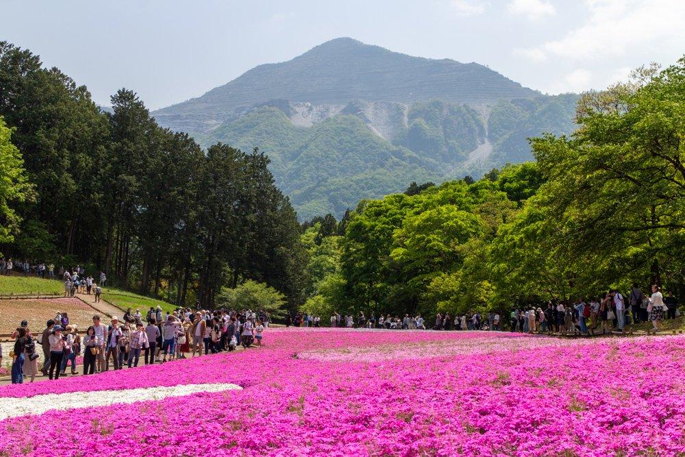 Shibazakura-Matsuri