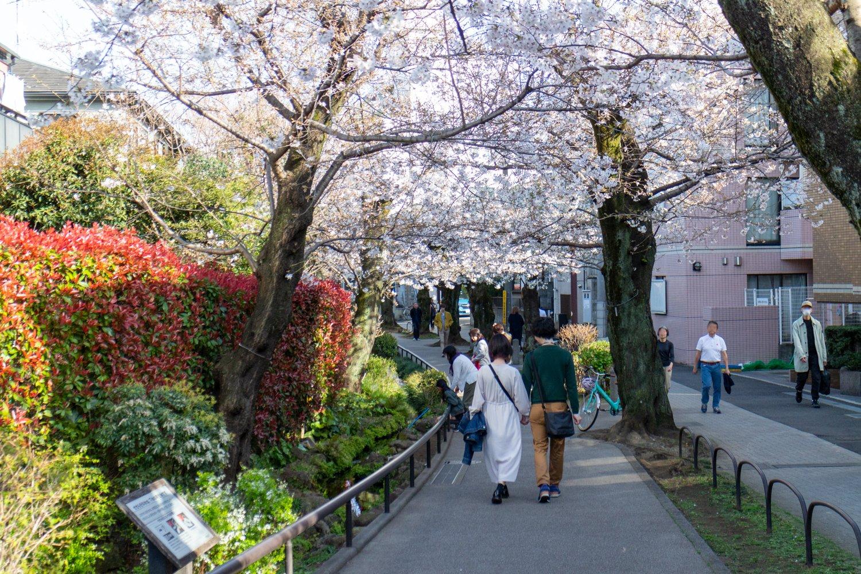 Im Frühling verwandelt sich der Greenway in eine Kirschblütenpracht.