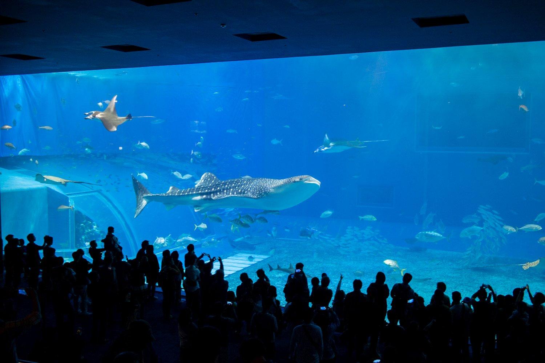 Einer von zwei Walhaien, die großen Attraktionen des Aquariums. In der Züchtung der Tiere ist Okinawa weltweit führend!